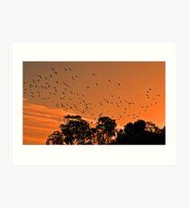 Corella Sunset Art Print