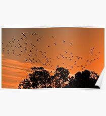 Corella Sunset Poster