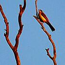 Noisey miner bird by JuliaKHarwood