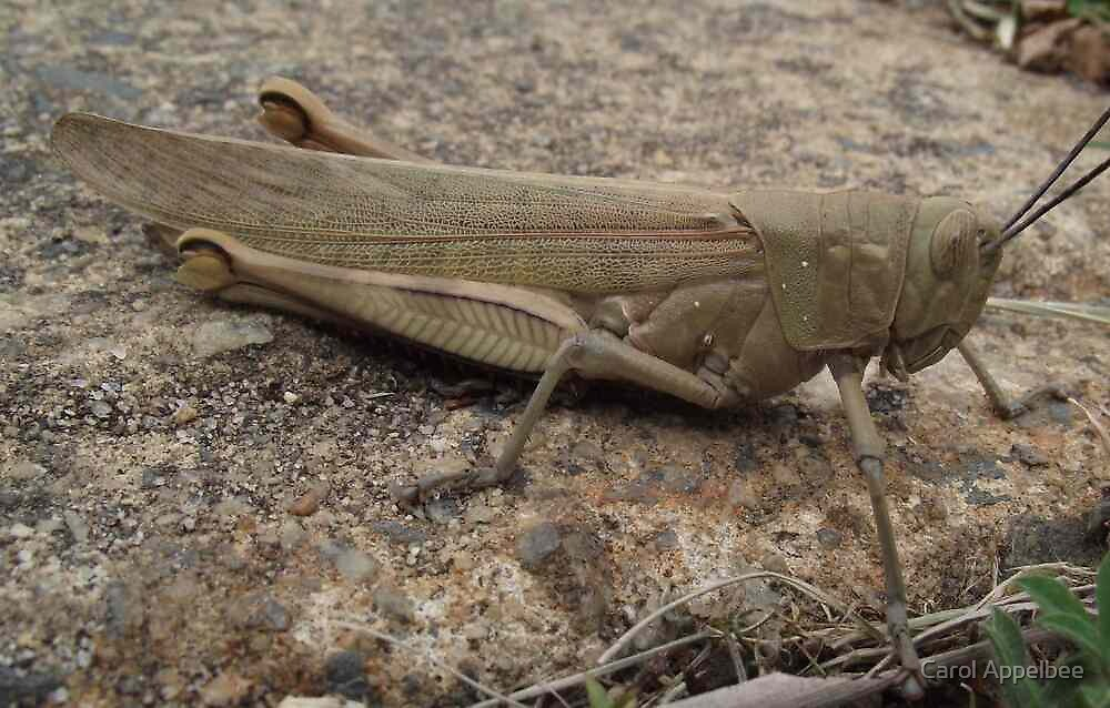 Armour Plated - Grasshopper by Carol Appelbee