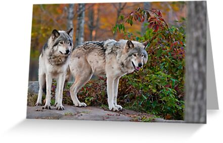 Timber Wolves by Michael Cummings