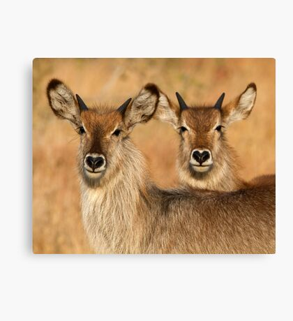 Devilish Waterbucks Canvas Print