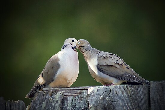Mourning Dove Kisses by ToddDuvall