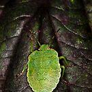 Green Shield Bug (Palomena prasina) by Gabor Pozsgai