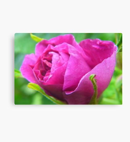 Pink Love--ly Rose Bud Canvas Print