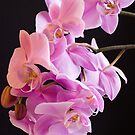 Orchid Pink  by DIANE  FIFIELD