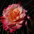 Rose of Joy by Brandie1