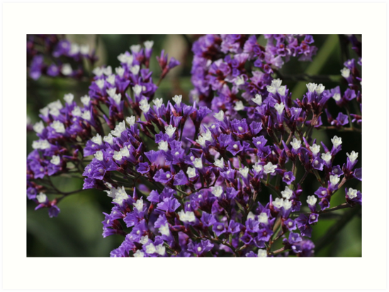 Purple statice flowers art prints by susan moss redbubble purple statice flowers by susan moss mightylinksfo