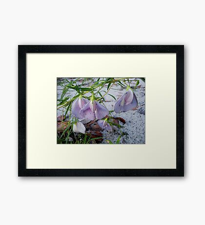 Butterfly Pea - a species of Clitoria Framed Print
