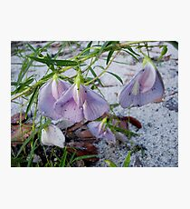 Butterfly Pea - a species of Clitoria Photographic Print