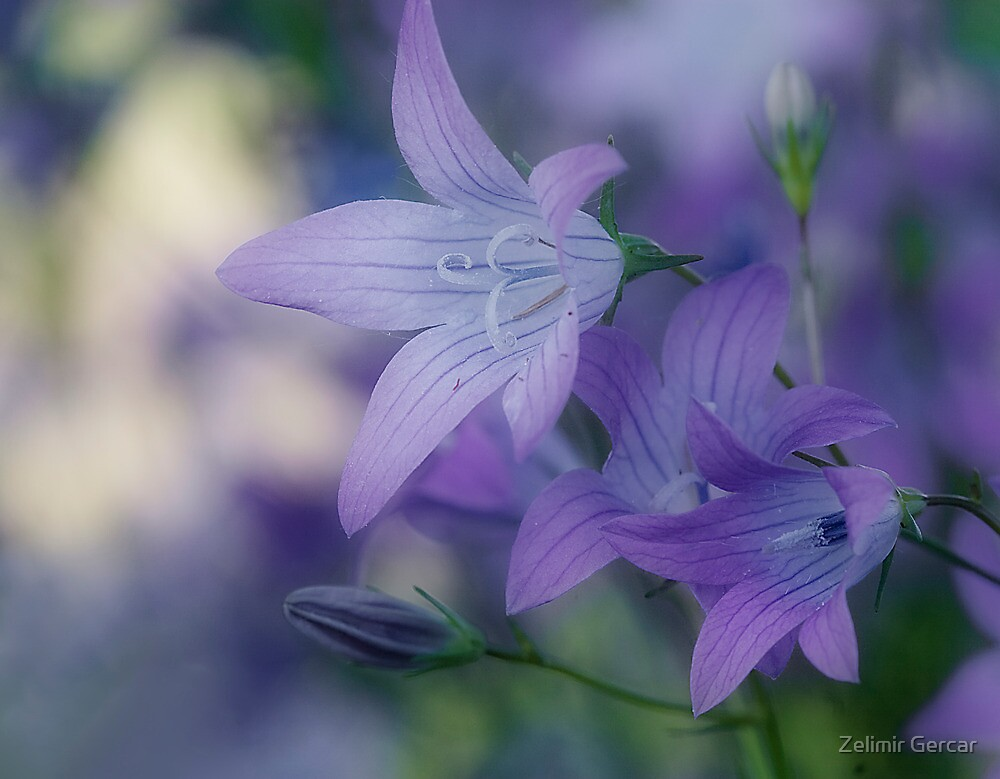 Flower Bell by Zelimir Gercar