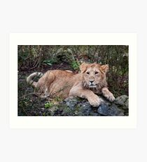 Young Lion at Rest Art Print