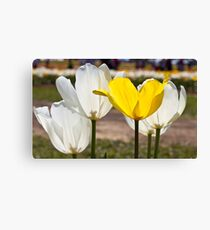 White & Yellow - Tulips Canvas Print