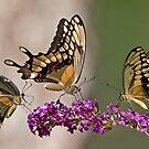 Swallowtail Symphony by Bonnie T.  Barry