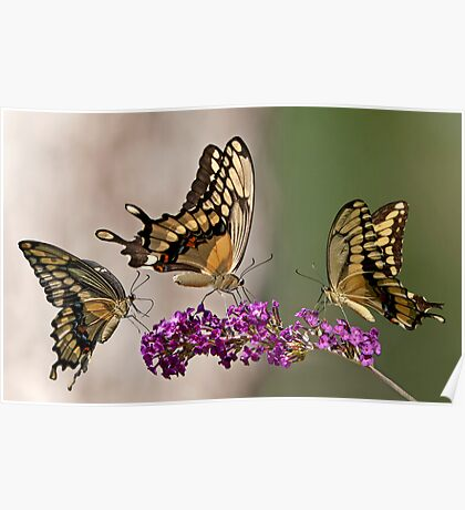 Swallowtail Symphony Poster