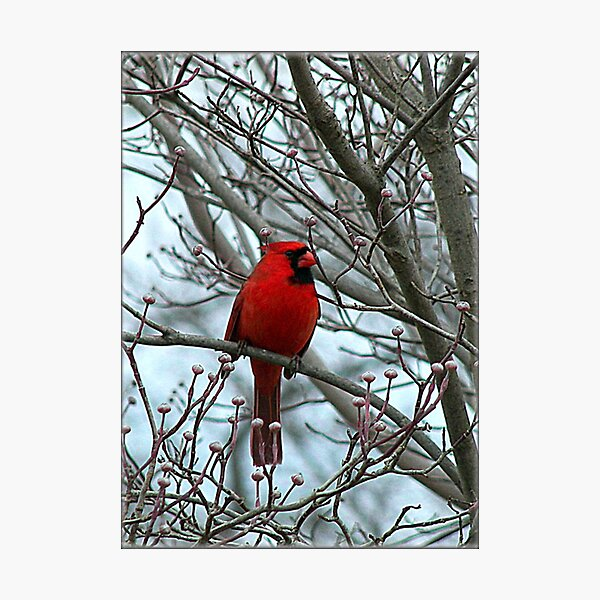 Cardinal in Winter Photographic Print