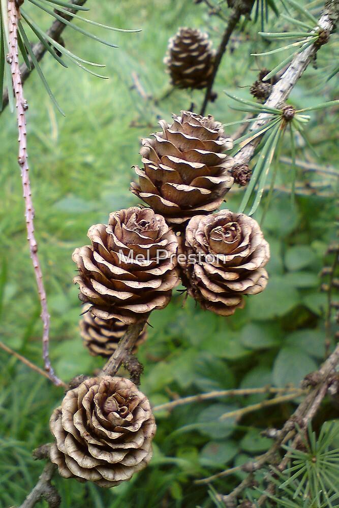 Pine Cones by Mel Preston