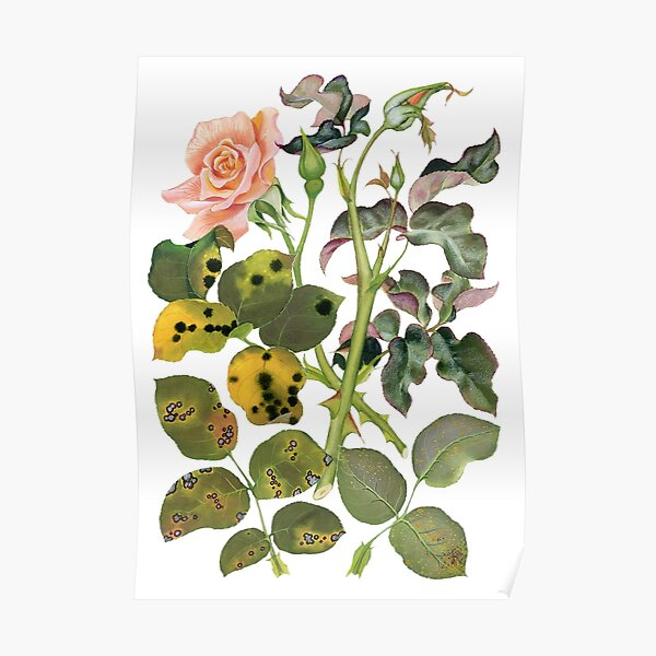 Foliage diseases of roses - (cut-away) Poster