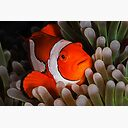 Anemonefish Peering Out At Me Poster By Karenwillshaw Redbubble