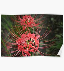 red spider lily flowers Poster