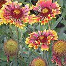 indian blanket wildflowers by Sheila McCrea