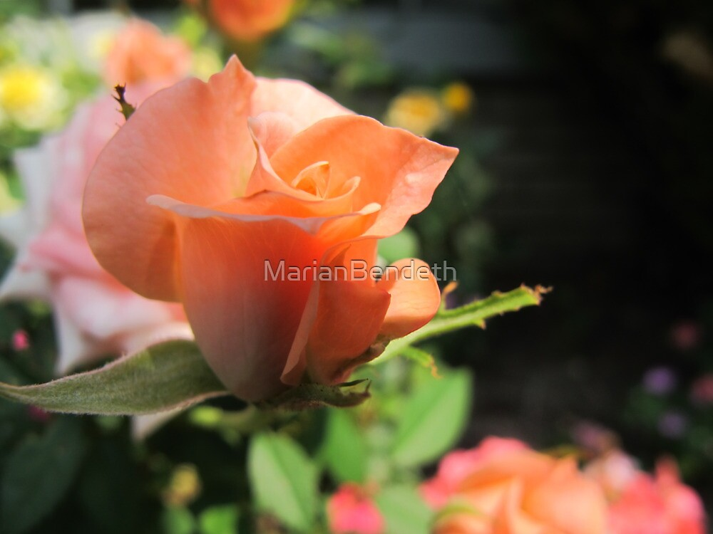 Waltzing Rose by MarianBendeth