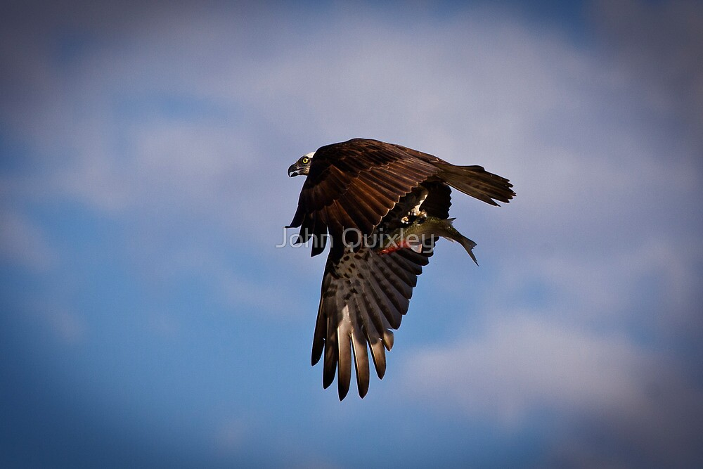 Osprey and catch by John Quixley