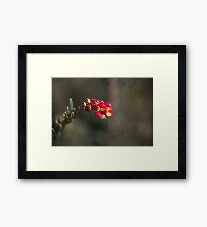 Grevillea Small Flower Framed Print