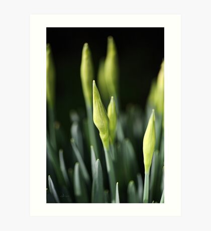 Daffodil Buds Art Print