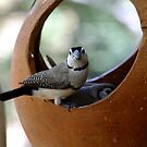 Double bar Finch by JuliaKHarwood