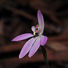 Caladenia sp. aff. Carnea? by Colin12