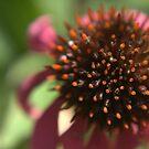 Echinacea Flower by AbsintheFairy