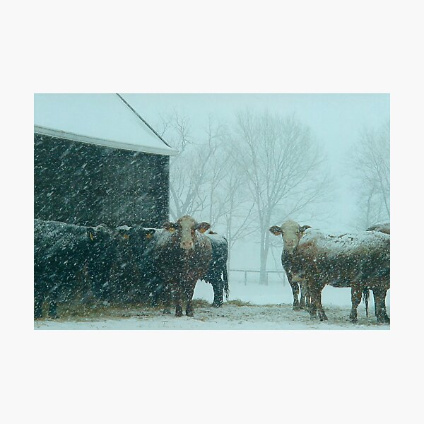 Cows In The Early Morning Snow Photographic Print
