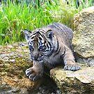 Sumatran Tiger Cub by Sheila Smith
