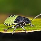 Shield Bug by Gareth Jones