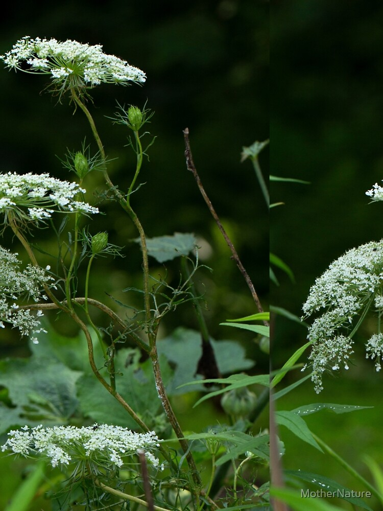 Queen Anne's Lace Wildflower - Daucus carota by MotherNature
