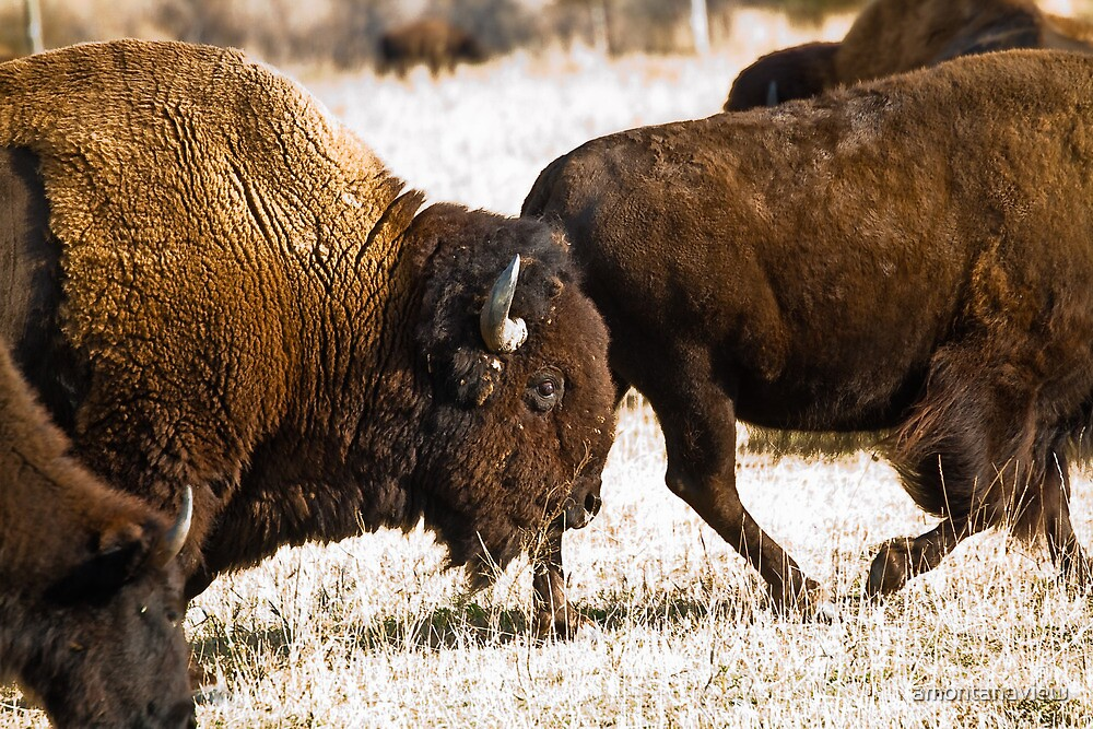 Buffalo herd on the National Bison Range by amontanaview