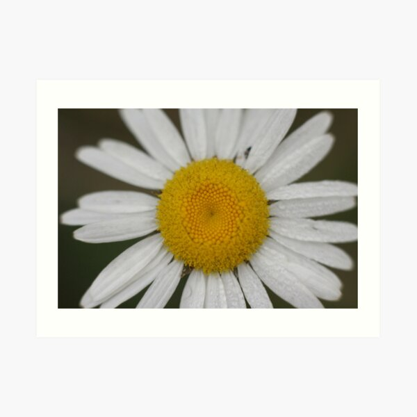 Dew Covered Daisy Center Art Print