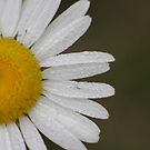 Dew Covered Daisy Edge by Don Baker
