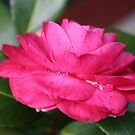 Beautiful pink camelia after the rain. by Kaylene Passmore