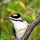 Juvenile Hairy Woodpecker by Alyce Taylor