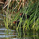Coot Chicks by Alyce Taylor