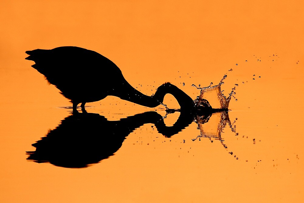 Silhouetted Great Blue Heron hunting. by Daniel Cadieux