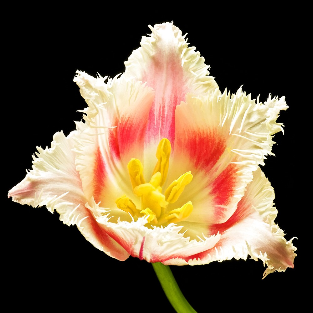 Parrot Tulip 2005 by Peter Howes