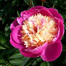 Pink Peony by hootonles