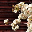 Spring Blossoms in Barrydale by Tom Mostert