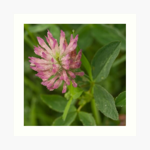 Red Clover flower, saturated with dew Art Print