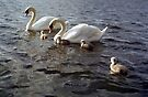 Swans by Michael Haslam