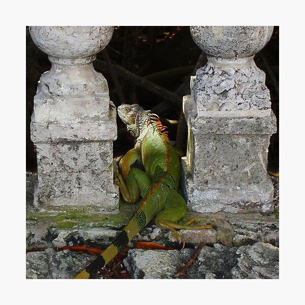 Green Iguana Photographic Print