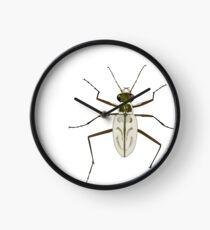 Northeastern Beach tiger beetle, Habroscelimorpha dorsalis Clock